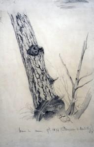 tronc de verne (aulne rouge)